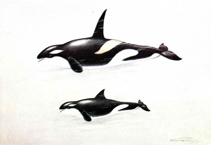 Косатка (Orcinus оrcа Linnaeus, 1758)   Атлас морских млекопитающих ... 9c6a53fc9bd